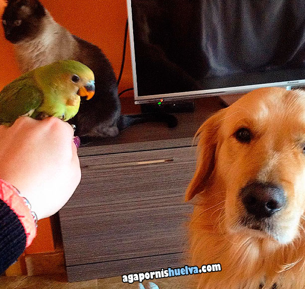 agaporni con sus amigos perro y gato