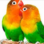 Fotos de bonitos agapornis fischers verde
