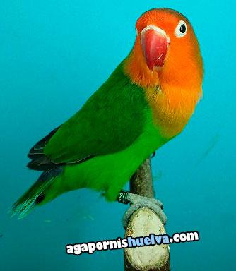 agapornis fischer verde posando