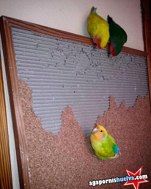 agapornis investigando cosas de la casa