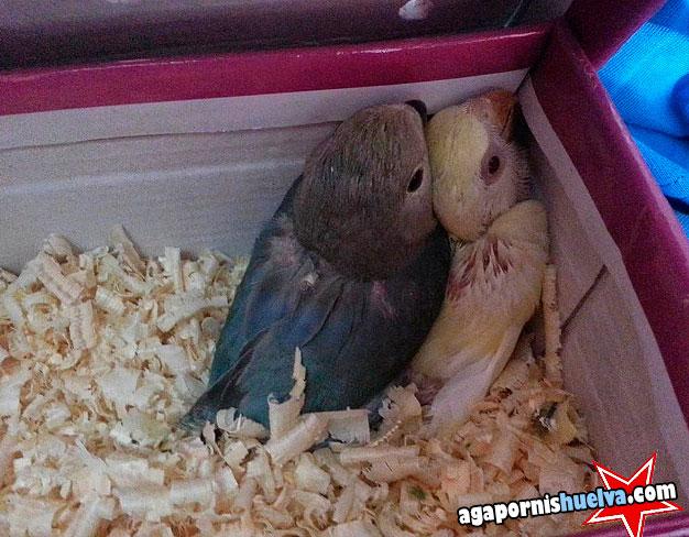 agapornis papilleros de roseicollis lutino y azul en caja