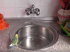 consejo agapornis bañarse cocina