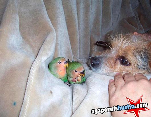 dos hermanitos roseicollis papilleros junto a un perro