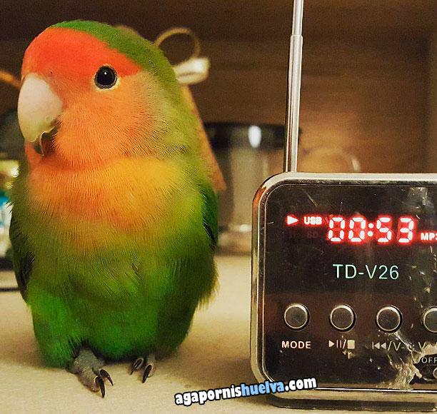 este agapornis considera que es hora de levantarse