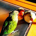 Fotos e imágenes de agapornis papilleros muy pequeños