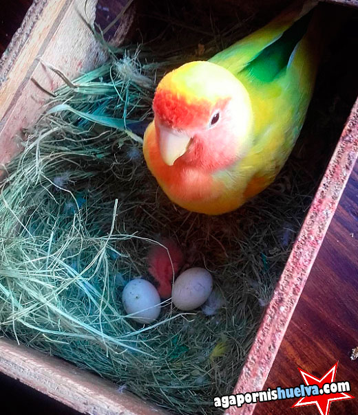 madre agaporni con sus polluelos