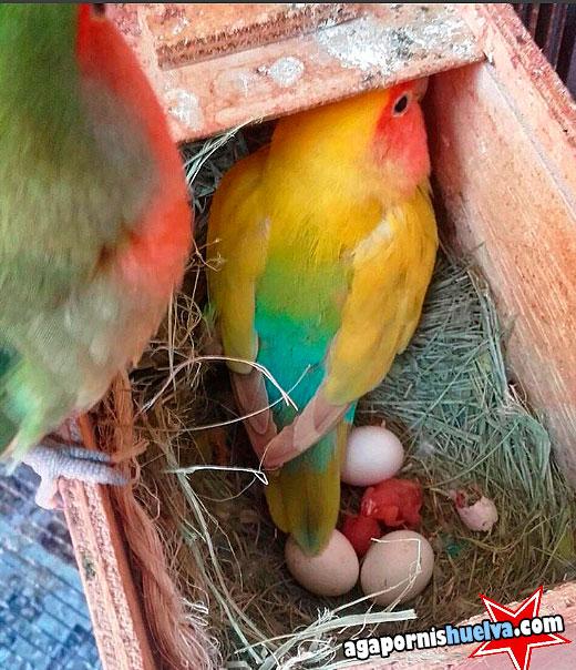 papa y mama agaporni con sus pollos recien nacidos