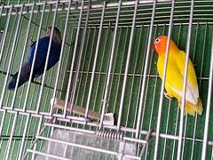pareja de agapornis fischer lutino y azul