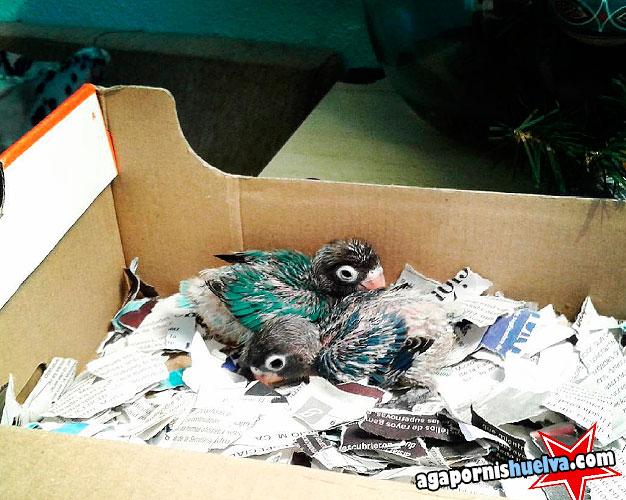 personatas pollos en su caja