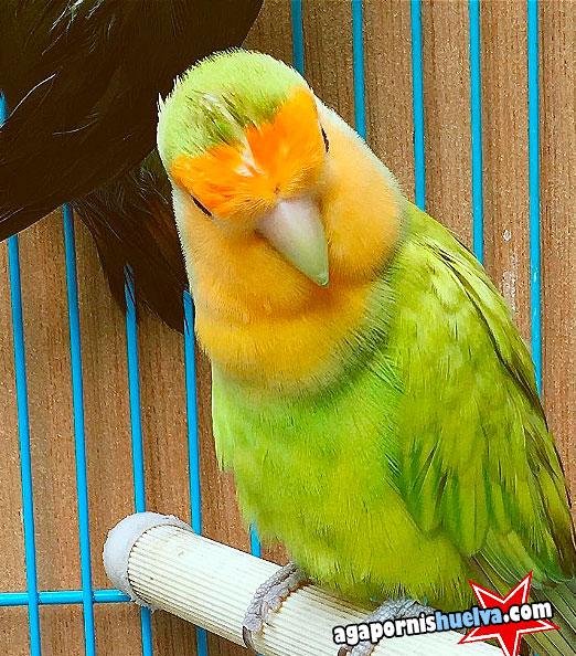 agapornis color verde limon