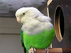 foto perfil agapornis cana o canus