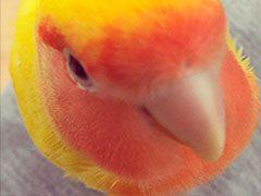 Fotos de preciosos LoveBirds (Agapornis o Inseparables)