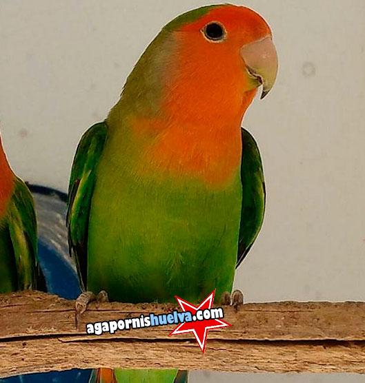 macho long feather verde opalino ino