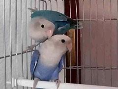 pareja roseicollis opalino
