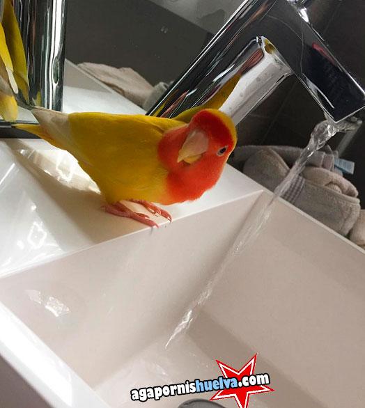 roseicollis lutino a punto de darse un baño