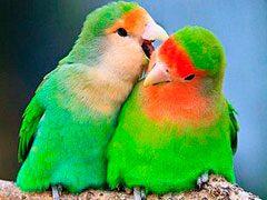 Sabes si un agapornis inseparable es macho o hembra ¿es posible?