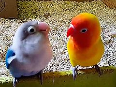 video de dos agapornis fischer cantando