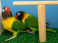 Conociendo a nuestra pareja de agapornis personatas verde