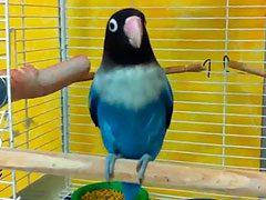 Vídeo de un agapornis personata azul cantando muy feliz