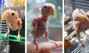 ¿Por qué las aves se quitan las plumas?