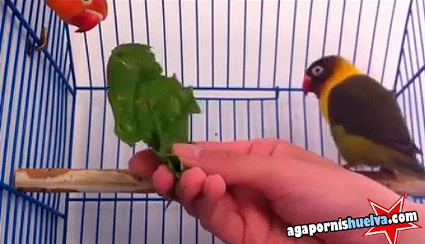 domesticando agapornis salvajes