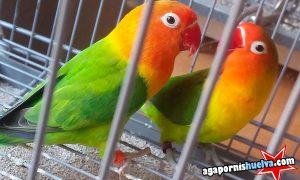 Nuestra pareja de agapornis fischer verde… ¡ya entran en el nido!