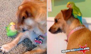 Un agapornis y un perro jugando
