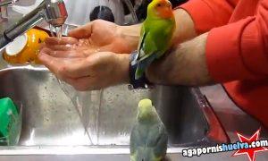 Muchos agapornis dándose un baño