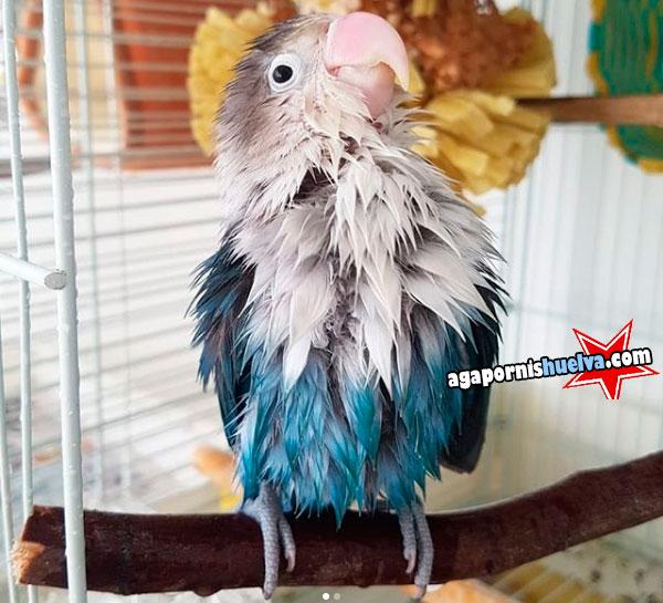 agapornis fischer azul mojado