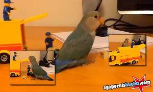 Agapornis jugando con sus juguetes nuevos