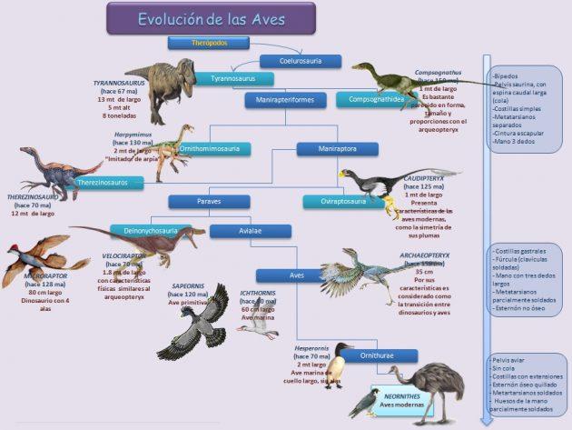 esquema de la evolucion de las aves